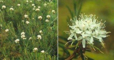 Ledum Palustre, rimedio naturale per evitare di essere punti dalle zanzare