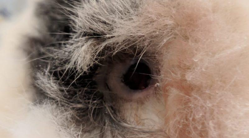 CONIGLIO: melanoma cutaneo